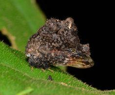 Grotesque treehopper (Membracidae)