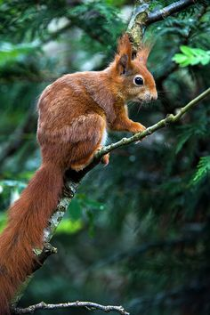 Red Squirrel (sciurus vulgaris (by Dave Hunt Photography)