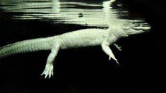 Rare albino Alligator in Water.   Anastacia12182 - A trip to the Georgia Aquarium A photograph of an leucistic alligator found in the Georgia Aquarium. CC BY-SA 3.0 File:Albino Alligator in Water.jpg Created: 24 June 2012