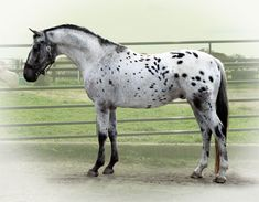 Cloverlone Broodmare Farm breeds, raises and trains Holsteiner and Spotted Holsteiner Sport Horses Warmblood Horses, Appaloosa Horses, Breyer Horses, All The Pretty Horses, Beautiful Horses, Spotted Horse Breed, Pictures With Horses, Horse Pattern, Horse Breeds