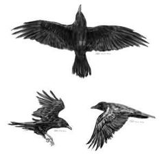 Some quick sketches of a crow tattoo design Commission Art Sketchbook Pro June 2010 Body Art Tattoos, Tattoo Drawings, Small Tattoos, Sleeve Tattoos, New Tattoos, Tattoos For Guys, Bird Tattoos, Tatoos, Badass Tattoos