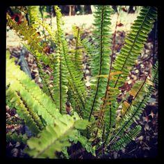 Photo: Fern | A Gardener's Notebook #garden via Instagram