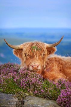 Highland cow in heather on Curbar Edge, Peak District National Park, Derbyshire. Highland cattle with flower in the hair. Cute Baby Cow, Baby Cows, Cute Cows, Baby Elephants, Farm Animals, Animals And Pets, Funny Animals, Cute Animals, Wild Animals