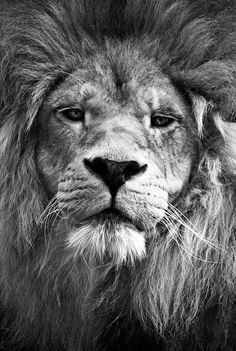 """If the lion knew his own strength, hard were it for any man to rule him."" Thomas Moore"