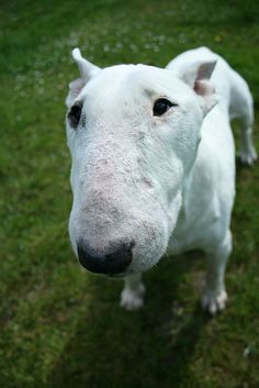 bull terrier-From Wiki-originated in England for vermin control/animal based blood-sport, most recognized feature is 'egg shaped' head, muscular, generally white although some health issues exist with all white dogs, jaunty gait, independent, stubborn, not recommended for 1st time owner, protect family, SOCIALIZE EARLY, strong prey instinct, get along well with animals they know, check for deafness, skin allergies, keep free from insects, live 10 or so years