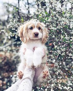 Nature flower crown on a little bunny pup cocker spaniel puppies spring puppy Puppy Care, Pet Puppy, Dog Cat, Cute Baby Animals, Animals And Pets, Perro Cocker Spaniel, Perros Golden Retriever, Cockerspaniel, Cute Dogs And Puppies