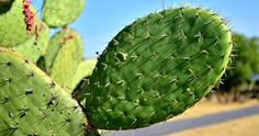 Nopalimex has built theworld's first cactus-powered plant in Mexico. The company is utilizinga digester to make biogas from prickly pearcacti