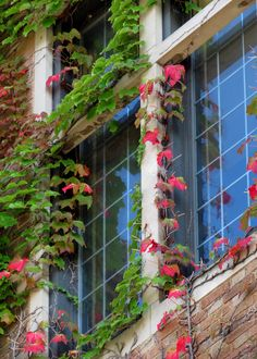 The ivy on Marquette Hall is turning to fall colors at Marquette University.