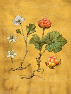 stefan hörberg High Art, Botanical Art, Vintage World Maps, Berries, Symbols, Ink, Drawings, Flowers, Plants