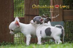 Chihuahuas Love - ¿Por Que Llora Mi Cachorro Chihuahua? Cachorros Chihuahua.