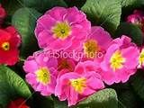 primrose + pink - Dogpile Images Search (our primroses are so happy!  I just keep picking off the dead flowers and they keep reblooming--they don't like the hot summer sun, though--maybe plant in am sun-L)