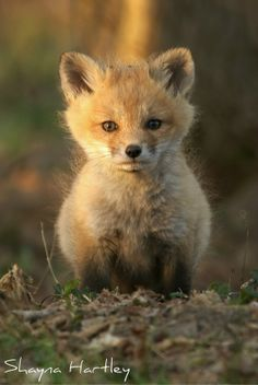 Sweet Face - A young fox kit letting it's curiosity get the best of it. Fox Pups, Young Fox, Baby Animals, Cute Animals, Fox Art, Animal Facts, Cute Fox, Forest Friends, Cute Animal Pictures