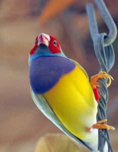rainbow finch - Natural colors