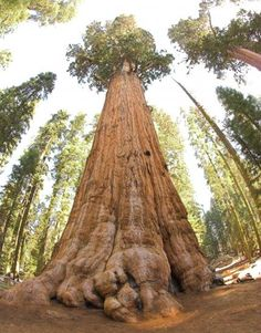De oudste bomen op aarde   EnDanDit