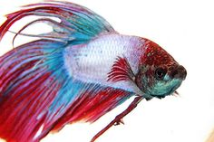 Red White & Blue Fighting Fish