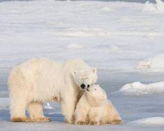 Oso polar (Ursus maritimus)  Besos animales.