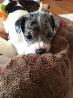 Rocco | 5 week old Rat Terrier • Baby • Male • Small | Heavenly Paws of Michigan Rochester Hills, MI
