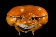 Picture of a true tomato frog (Dyschophus antongilii) from the Lincoln Children's Zoo.