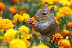 Squirrel eating marigolds