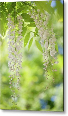 White Clusters Of Flowering Wisteria Metal Print by Jenny Rainbow. All metal prints are professionally printed, packaged, and shipped within 3 - 4 business days and delivered ready-to-hang on your wall. Choose from multiple sizes and mounting options. Art Prints For Home, Home Art, Fine Art Prints, Framed Prints, All Flowers, Beautiful Flowers, Wisteria, Fine Art Photography, Green Colors
