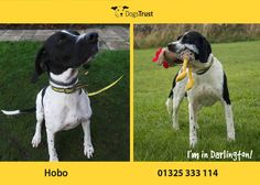 Hobo is a really sweet boy at Dogs Trust Darlington. He is lively, but for a Pointer he is reasonably laid back. He will happily entertain himself with his toys, though he may not like to share them with his doggy chums. He will need plenty of exercise. Dogs Trust, Dog Stuff, Beagle, Dog Lovers, Adoption, Exercise, Entertaining, Toys, Sweet