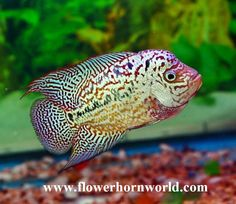 11 Best Current stock - Flowerhorn fish for sale www thaifh