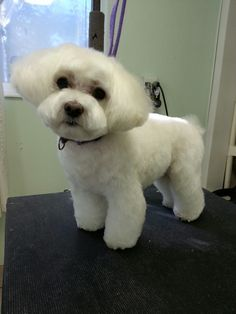 This dog is so cute. I love grooming her.