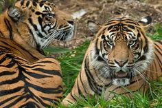 """I got your back, bro"" Conrad & Thomas (twin #tigers) Photo by Darrell Ybarrondo"