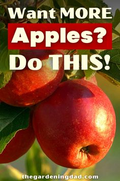 Do you love growing apples and want to provide more for your friends and family? Follow these 10 easy steps to learn the tips and tricks to grow more apples. #Thegardeningdad #Fruit @apples Healthy Food To Lose Weight, Healthy Food List, Easy Healthy Recipes, Organic Gardening Tips, Gardening Hacks, Growing Apple Trees, Apple Tree From Seed, House Plant Care, Plant Decor
