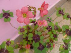 Trevo de 4 folhas florido