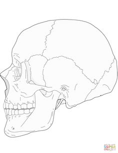 Inferior View of the Bones of the Skull Unlabeled Example
