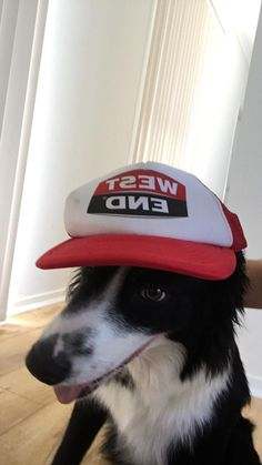 I see your Cinnabon cat cinnamon roll cat roast chicken cat and turn the tables with a border collie wearing a hat