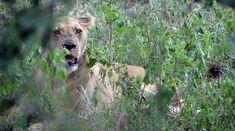 Napočítali jsme dvě lvice a pět lvíčat. Lvice musí být ve střehu.