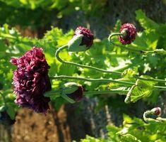 Poppy, Black (Papaver somniferum var paeoniflorum), packet of 100 seeds, organic