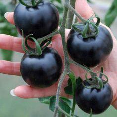 black-tomatoes.j O fruto do tomate roxo foi primeiro modificado por cientistas nos Estados Unidos, e contém um antioxidante chamado antocianina especial.
