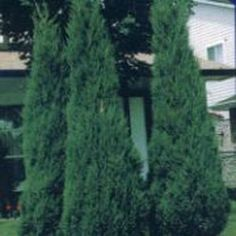grows rapidly to 15 feet tall with a spread of just 2 feet. This variety requires very little maintenance; no staking or pruning. Great privacy screen and wind break.