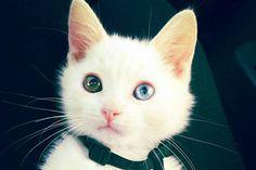 Sparrow The Odd Eyed Cat » Love Meow