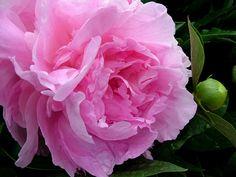 La flor de Peonia