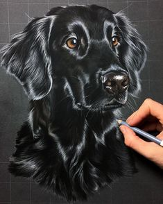 Aenna not quite finished yet, but already close to such an a hare flat lady. Aenna not fully finished, but almost such a Animal Paintings, Animal Drawings, Art Drawings, Black Paper Drawing, Color Pencil Art, Realistic Drawings, Art Graphique, Pastel Art, Dog Portraits
