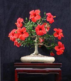 Hibiscus Bonsai                                                                                                                                                                                 Mais