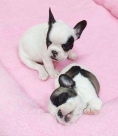 sleepy frenchie pups~ 6 weeks, French Bulldog Puppies