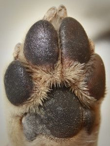5 Important Tips for Caring for your Dog's Paws - It upsets me to see owners walk their dogs on scorching asphalt, concrete or other hot surfaces while they wear shoes! Your dogs feet feel that heat as well!!!