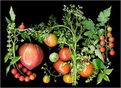 Before cooking, let's get all the guests to help make scanner art with the produce.    Heirloom Tomatoes Slideshow - Scanner Photography, Scanography By... - Scanner Photography By Ellen Hoverkamp #food52 #saveur #summerfoodfights
