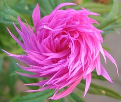 Persian cornflower (Centaurea dealbata) flower bud.  Reminds me of the Lorax. :)
