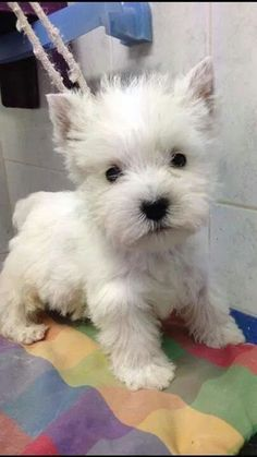 Female Dogs Collar - Dogs And Puppies Names - Beautiful Dogs Blue Eyes - Dogs Collar Size Chart - - Big Hypoallergenic Dogs Westie Puppies, Westies, Cute Puppies, Cute Dogs, Dogs And Puppies, Doggies, Chihuahua Dogs, Baby Animals, Funny Animals