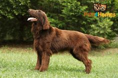 flat coated retriever puppies - Google Search