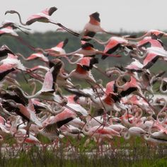 Flamencos en Doñana,  Huelva  Spain (The Parque Nacional de Doñana, situated in the provinces of Huelva, Sevilla and Cádiz is one of Europe's most important wetland reserves and a major site for migrating birds. )