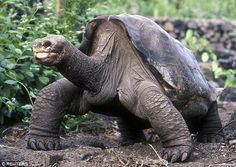 Lonesome George (pictured), a giant saddleback tortoise from Pinta Island in the Galapagos Islands, died in 2012, marking the extinction of his species, but two newly discovered relatives on a nearby island have raised hopes it may be possible to restore the population of the Pinta giant tortoises on the island