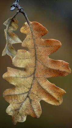 31 ideas for oak tree photography autumn leaves Oak Leaves, Tree Leaves, Autumn Leaves, Autumn Nature, Leave In, Acorn And Oak, Mighty Oaks, Power Trip, Fotografia Macro