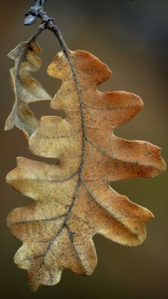 31 ideas for oak tree photography autumn leaves Oak Leaves, Tree Leaves, Autumn Leaves, Autumn Nature, Leave In, Acorn And Oak, Fotografia Macro, Leaf Art, Oak Tree